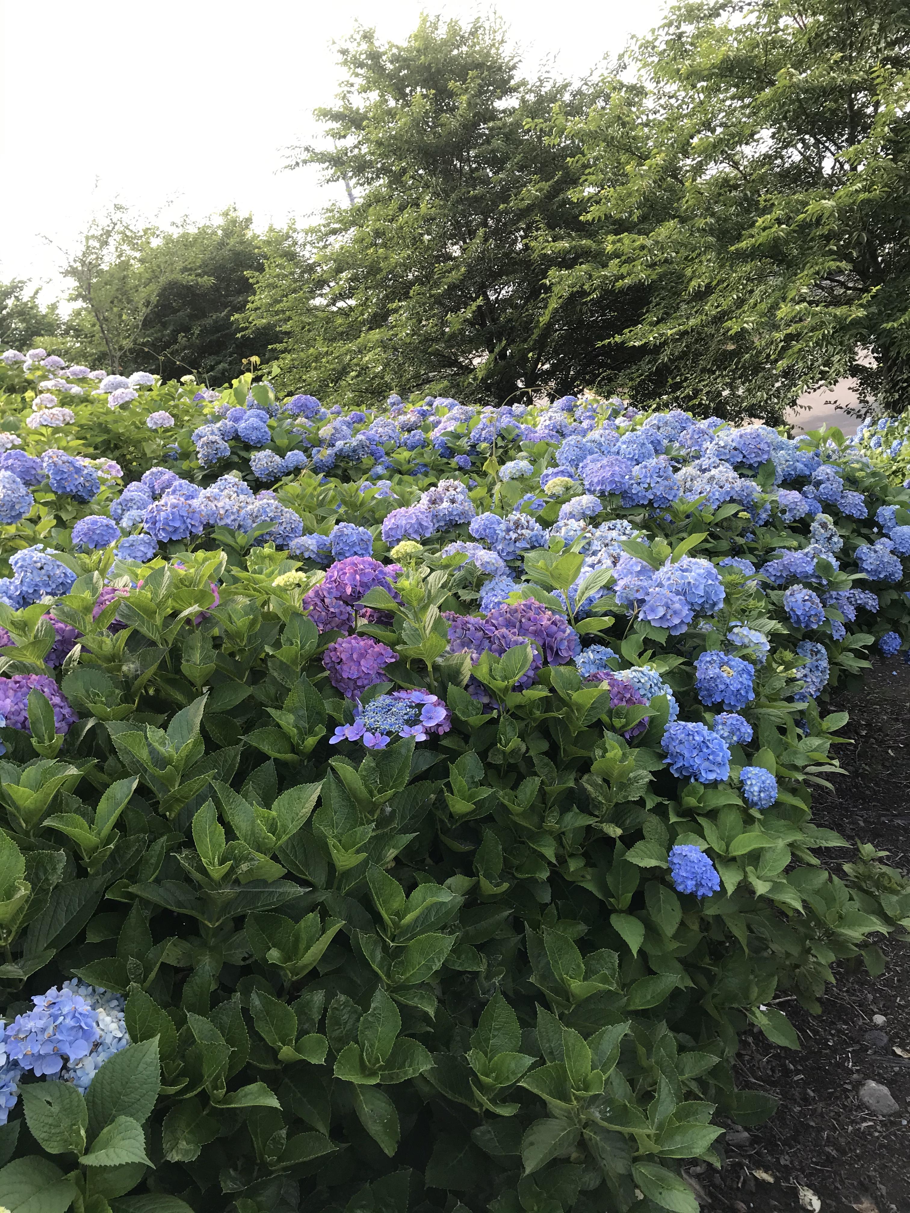 紫陽花💜💙